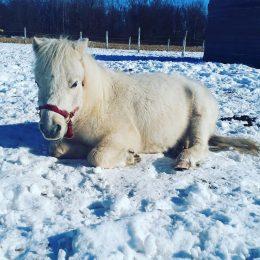 L'espiègle mini cheval