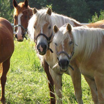 chevaux-animotherapie-sorel-tracy-zootherapie