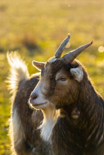 Deux mignonnes petites chèvres viennent compléter notre groupe.