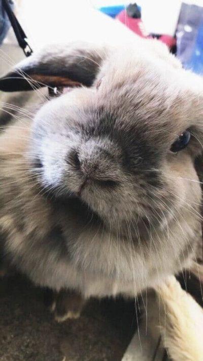 Notre lapin Bélier
