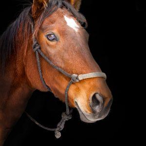 Communication intuitive par le cheval