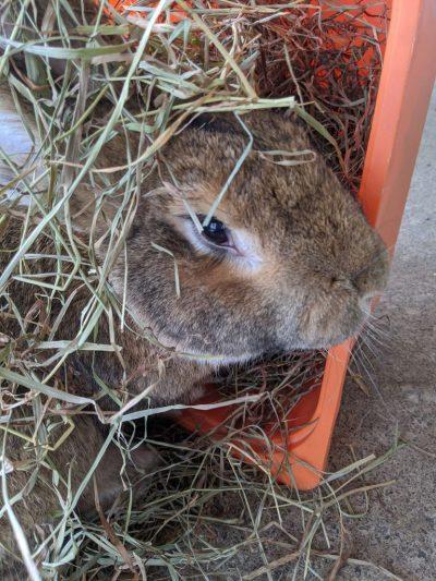 Notre géant lapin