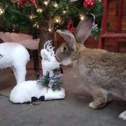 L'attachant lapin géant